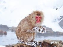 在温泉的雪猴子 库存图片