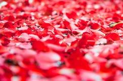 在温泉水池的红色玫瑰花瓣 免版税库存照片