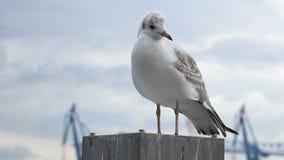 在港口杆的海鸥 股票录像