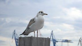 在港口杆的海鸥 影视素材