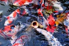 在游泳在池塘庭院里的表面水的美丽的鱼鲤鱼的五颜六色的花梢koi鱼享受饲料食物漂浮 免版税库存照片