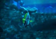 在游泳在n下的深蓝色海洋钓鱼Heniochus acuminatus 免版税库存图片