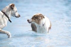 在游泳池的两条狗 库存图片