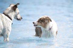 在游泳池的两条狗 图库摄影