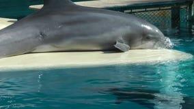 在游泳池的大海的愉快的海豚 影视素材