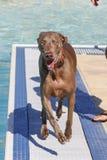 在游泳池的愉快的狗 免版税图库摄影