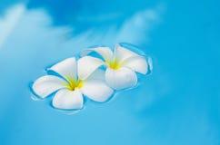 在游泳池的热带花羽毛 免版税库存照片