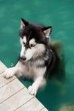 在游泳池的西伯利亚爱斯基摩人狗 库存照片