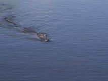 在游泳的一条野生鳄鱼在水中 库存图片