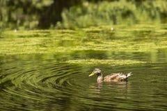 在游泳的公野鸭在池塘 库存图片