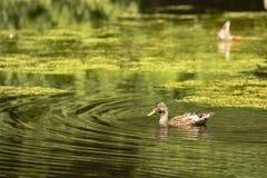 在游泳的野鸭德雷克在池塘 图库摄影