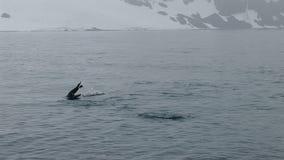 在游泳的Chinstrap企鹅在半月岛附近 股票视频