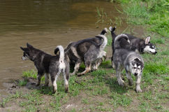 在游泳以后的小狗组装 免版税库存图片