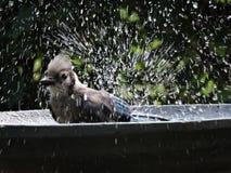 在游泳以后的蓝鸟在浴 免版税库存照片