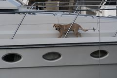 在游艇的狗 免版税库存图片
