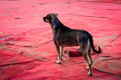 在游艺集市地面覆盖物的街道狗 库存图片