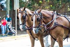 在游行的两匹马 免版税库存照片
