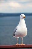 在游轮的栏杆的海鸥 免版税库存照片