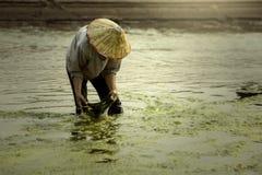 在湄公河收获淡水海藻村民或渔夫 库存图片