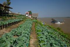 在湄公河3附近的中国无头甘蓝菜 库存照片