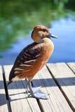 在湖、绿色树和木背景关闭明亮的大海的Dendrocygna双色的吹哨的鸭子茶色的颜色  免版税库存图片