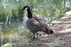在湖一边的鹅 免版税库存照片