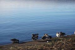 在湖与小野鸭的早晨在日本 免版税库存照片