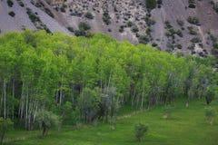 在湖伊斯坎德尔,塔吉克斯坦的帕米尔桦树 库存图片