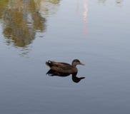 在湖低头单独游泳在大海的鸟 库存图片