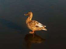 在湖冰的一只鸭子  库存图片