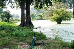 在湖前面的孔雀 Udawalawe国家公园斯里兰卡 免版税库存图片