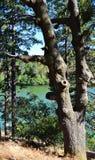 在湖前面的风景老蓬乱的橡树 库存照片