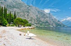 在湖加尔达的美丽的景色有在Limone sul加尔达,意大利的天鹅的 免版税库存照片