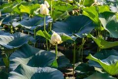 在湖卡特衣阿华和奥马哈内布拉斯加的美丽的Waterlily 库存图片