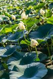 在湖卡特衣阿华和奥马哈内布拉斯加的Waterlily 免版税库存照片