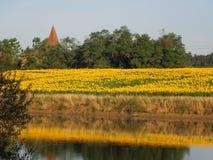 在湖反映的向日葵的领域 免版税图库摄影