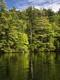 在湖反映的孤立桦树 免版税库存照片