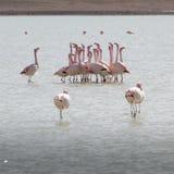 在湖在安地斯,玻利维亚的南部的部分的火鸟 免版税库存图片