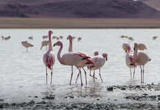 在湖在安地斯,玻利维亚的南部的部分的火鸟 免版税图库摄影