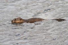 在湖在春天漂浮的麝香鼠 免版税库存图片
