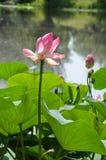 在湖对面的莲花 免版税库存照片
