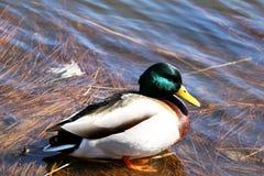 在湖岸的五颜六色的鸭子 免版税库存图片