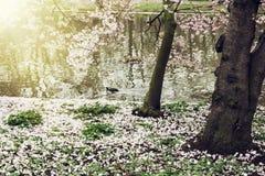 在湖岸的开花的树 图库摄影