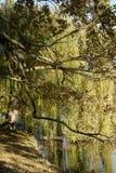 在湖岸的橡木和柳树,捷克,欧洲 免版税库存照片