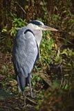 在湖岸的灰色苍鹭 免版税库存图片