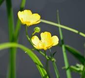 在湖岸的草甸毛茛在5月 库存图片