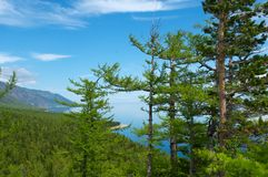 在湖岸的针叶树  免版税图库摄影