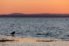 在湖岸的鸟在日落 免版税库存照片