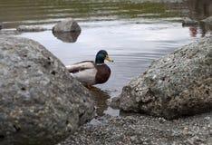 在湖岸的鸭子 免版税库存图片