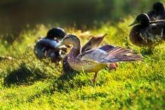 在湖岸的鸭子 免版税库存照片